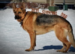 What is the Best Breed for a Survival Dog?